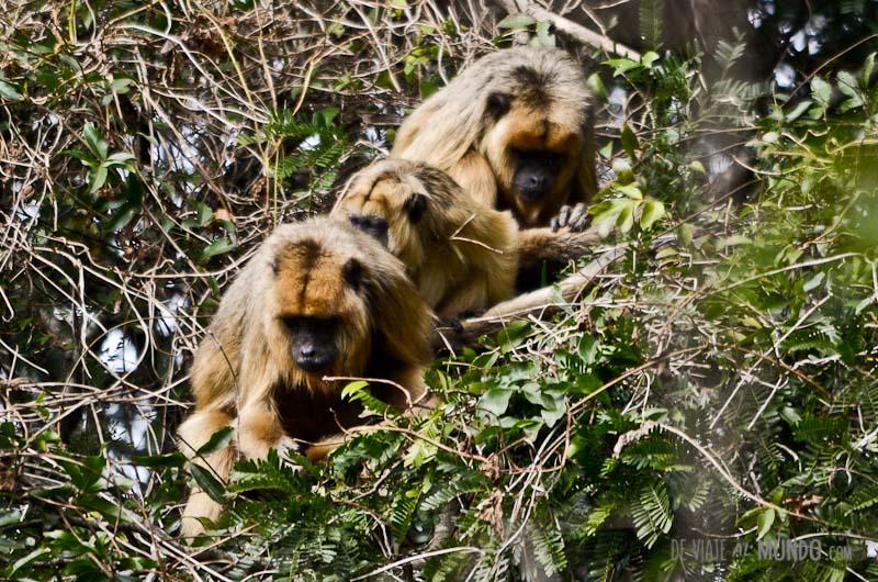 monos-esteros-del-ibera