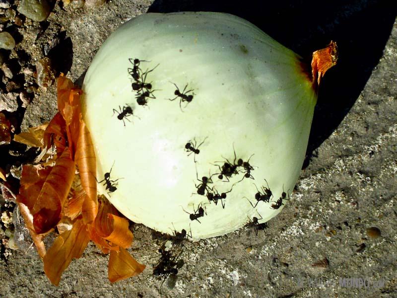 cebolla-hormigas